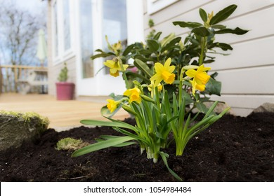 Spring garden with daffodils and sunroom and decking