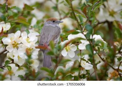 Spring in the garden, singing bird theme. Eurasian blackcap, Sylvia atricapilla, female. Portrait of  bird with brown capped head among white flowers against green background. April, Europe.