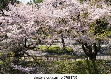 Spring garden with white cherry blossom or sakura full bloom around Nagoya castle, Chubu, Japan. Famous travel landmark and destination during April.