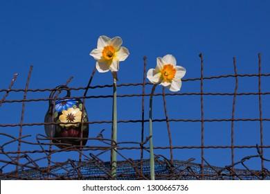 Spring garden, White narcissus (Narcissus poeticus)