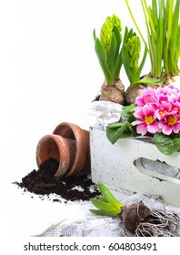 spring gardening background or cover: colorful flowers (hyacinths, pink primroses and daffodils) are arranged in a crate waiting to be potted - isolated on a white background with copyspace