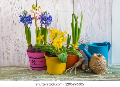 Spring gardening concept: multicolored hyacinths, yellow primrose and gardening equipment on white paint wooden background