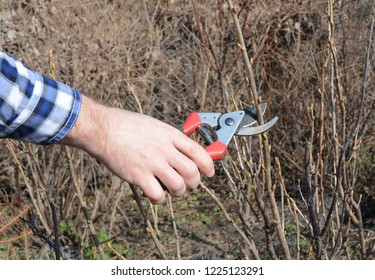 Spring Gardening. Gardener cutting fruit bush with bypass secateurs.