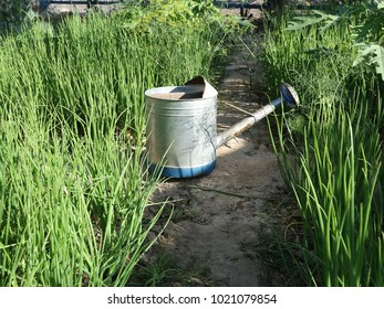 Spring onionVegetable gardening with watering cans.