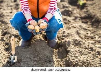 Spring gardening woman. Farmer holding potato going to plant