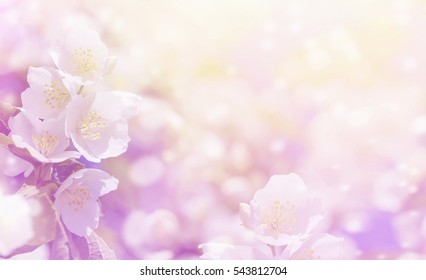 Spring gentle background with bright blooming jasmine