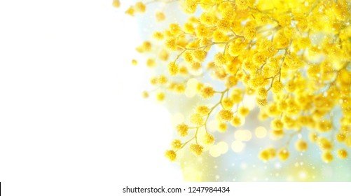 spring gentle composition with Mimosa flowers. Mimosa on white background, concept of spring season. symbol of 8 March, happy women's day.