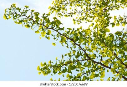 Spring ginkgo biloba branch on a blue sky background