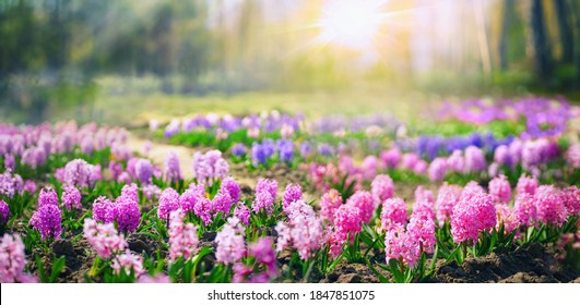 Spring glade in forest with flowering pink and purple hyacinths in sunny day in nature. Colorful natural spring landscape with with flowers, soft selective focus.