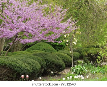 Spring at a glance: Detail of formal garden with pink flowering Eastern redbud (botanical  name: Cercis canadensis) and trimmed shrubs, northern Illinois in April
