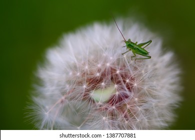 Spring green background-young grasshopper drinking juice from a dandelion. Dandelion and grasshopper close-up on a green background.Dandelion and grasshopper