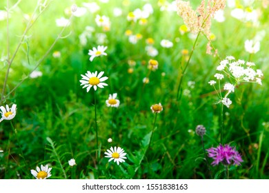 Spring green blooming wild meadow field with flowering camille on the sunlight