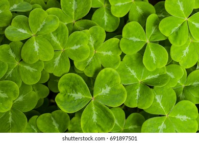 spring green clover leaves