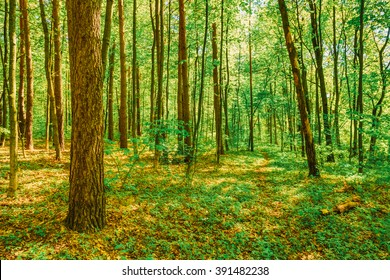 Spring Green Deciduous Forest Woods. Beautiful Nature