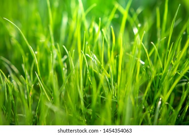 Spring green grass with dew drops in morning sunlight. Summer nature background