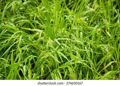 Spring, green grass with dew drops