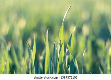 Spring green grass, soft focus, toned