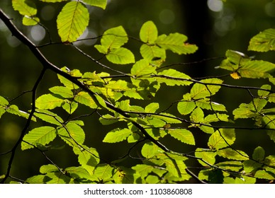 Spring green leaves of hornbeam tree illuminated in backlit with bokeh background