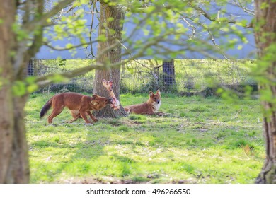 Spring Grove, APR 23: Hound in the beautiful West Midland Safari Park on APR 23, 2016 at Spring Grove, United Kingdom