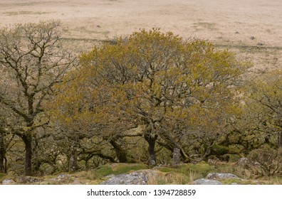 Spring Growth on Stunted Pedunculate Oak Trees (Quercus robur) in the High Altitude Woodland of Wistman's Wood on the Moorland of Dartmoor National Park in Rural Devon, England, UK