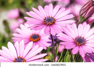 Spring has arrived, beautiful and aromatic african daisies flowers. Three pink and purple petals african daisies wide open into the sunlight on a very light day.