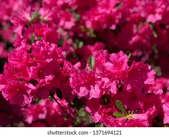 Spring has sprung. April showers bring May Flowers. Azaleas roses pink red green.  Floral Boutique for Mother's Day.