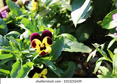 Spring has sprung, says the Pansy