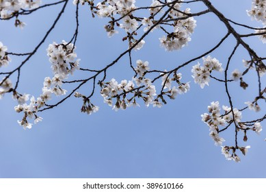 Spring has sprung with white cherry tree blossoms dancing against a clear blue sky.  Selective focus was used and room for copy space was left across the bottom of the image.