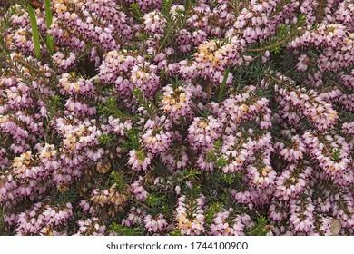 Spring heath (Erica carnea). Called Winter heath also