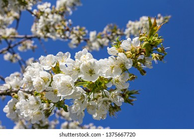 Spring is here. Blossoming fruit trees like here a cherry tree in front of a bright blue sky.