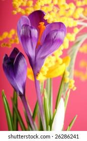 Spring holiday crocus flowers
