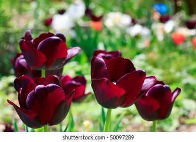 Spring holiday purple tulip flowers on flower-bed (nature background)