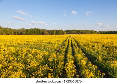 Spring horizontal landscape near Moscow with yellow field of rapeseed, forest on horizon and white cumulus humilis clouds in blue sky