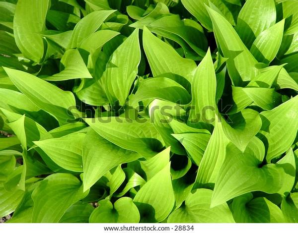 spring hosta leaves