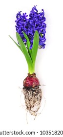 spring hyacinth with flower bulb and roots isolated over white background