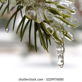 spring, icicles, green fir branch in the melting ice with drops of water close up