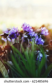 spring image of tiny blue purple spring flowers in sun haze at the end of the warm spring sunny day