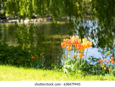Spring  image of tulips by a lake