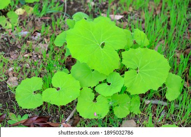 Spring ingredients, young leaves of butterbur