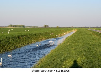 Spring in an irrigation ditch. Swans.
