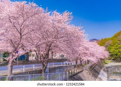 Spring in Japan, the kaname river cherry blossom trees in kanagawa hadano.