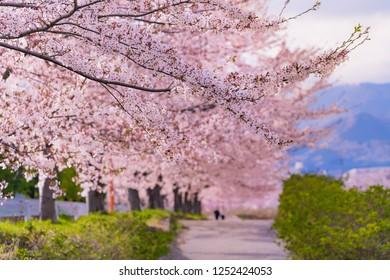 Spring in Japan, the mizunashi river cherry blossom trees in kanagawa hadano.