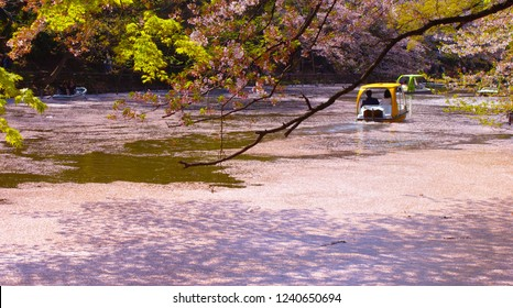 spring lake(cherry blossom) and boat