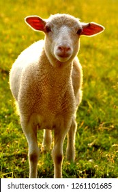 Spring Lamb in Evening Light, family farm, Webster County, West Virginia, USA