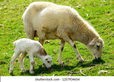 Spring lamb and ewe enjoy the warm sunshine, Katahdin and Barbados Blackbelly breed mix, family farm, Webster County, West Virginia, USA