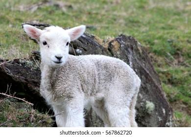 Spring Lamb, New Zealand