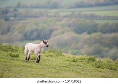 Spring lamb in Spring rural farm landscape