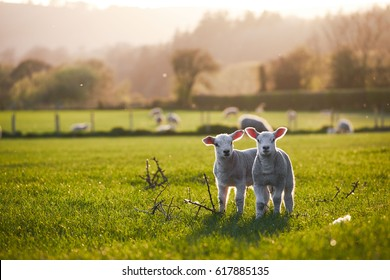 spring Lambs in countryside in the sunshine