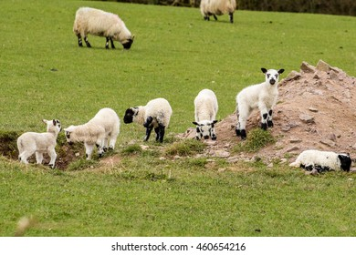 Spring lambs in Ireland with green field background