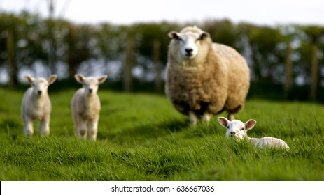 Spring lambs with mother.